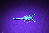 Scorpion in ultra violet light, Orange River, Namibia