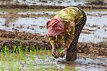 Planting Rice
