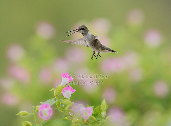 Ruby-throated Hummingbird (Archilochus colubris), female in flight feeding on Wishbone flower (Torenia fournieri), Hill Country, Texas, USA