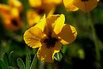 Buttercup blooming near Santa Margarita Lake, CA