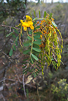 Mamane tree with flowers with seed pods. Sophora chrysophylla