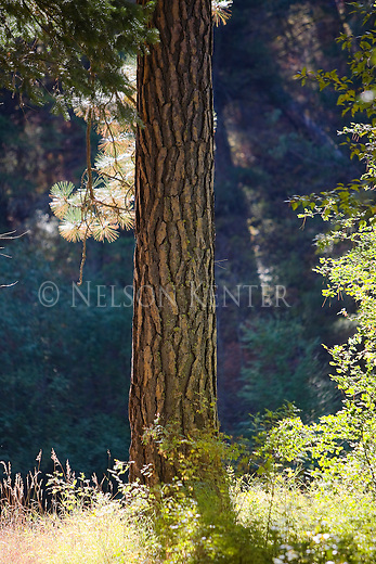 Ponderosa pine tree trunk in a Montana Forest
