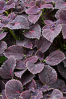 Solenostemon (Coleus) 'Black Prince' with dark purple foliage leaves. RHS Award of Garden Merit AGM