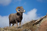 Bighorn Sheep, Rocky Mountain National Park
