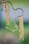 WA, Bellevue, Corkscrew Willow Flowers