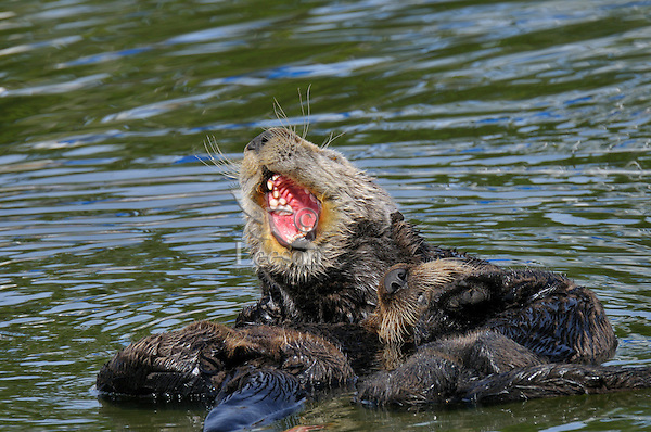 Sea Otter (Enhydra lutris) mom yawning while holding 1/2 grown sleeping pup.