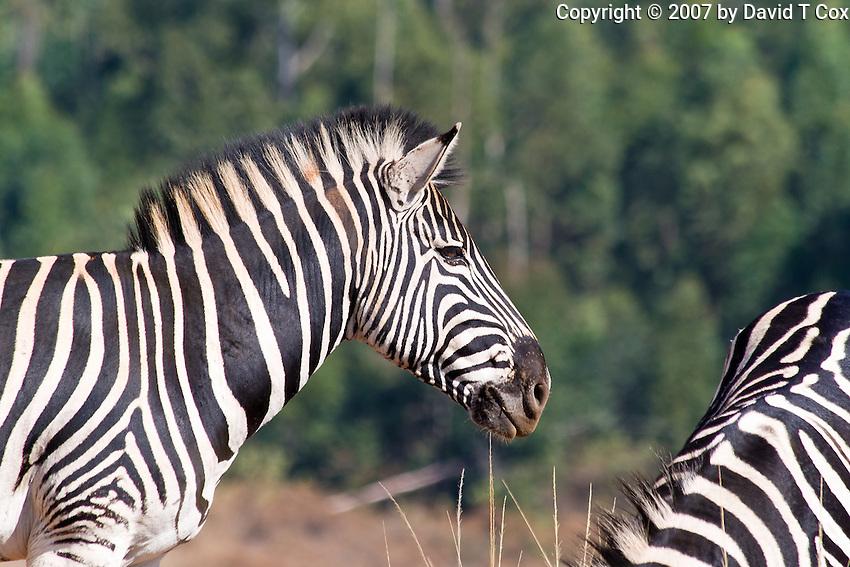 Burchell's Zebra, Mlilwani, Swaziland