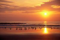 AJ1556, sunrise, sunset, Cumberland Island, ocean, Georgia, Reflection of the yellow sun and sea birds along the beach at sunrise on Cumberland Island National Seashore, Georgia.