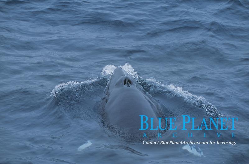 Minke whale, Balaenoptera acutorostrata, aerial view, surfacing and spouting, Bear Island, Barents sea, Arctic, North Atlantic