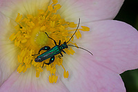 Grüner Scheinbockkäfer, Blaugrüner Schenkelkäfer, Scheinbockkäfer, Schenkelkäfer, Männchen, Oedemera nobilis, False Oil Beetle, Thick-Legged Flower Beetle, Swollen-Thighed Beetle, Pollen-feeding Beetle, Thick-legged Flower Beetle, male, Schenkelkäfer, Scheinbockkäfer, Schein-Bockkäfer, Scheinböcke, false blister beetles, pollen-feeding beetles, Oedemeridae, L'œdémère noble