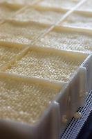 France, Calvados (14), Pays d' Auge, Saint-Philbert-des-Champs,  Fabrication du Pont-l'évêque AOP , chez Françoise et Jerôme Spruytte , égouttage du fromage // France, Calvados, Pays d' Auge, Saint Philbert des Champs, Pont l'Évêque cheese making , Françoise et Jerôme Spruytte, Pont l'Évêque cheese producers, cheese draining