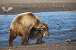 Pictured:  Sequence 9 of 13:  The mum and other bear tussle<br /> <br /> Grizzly bears viciously attack each other as they battle over a fish.  The two brown-haired bears became aggressive as they came to blows over their food, digging their paws and teeth into each other.<br /> <br /> Photographer Kevin Dooley spotted the female bear, thought to be about 16 years old, fighting with the younger five-year-old male bear in southwestern Alaska.  SEE OUR COPY FOR DETAILS.<br /> <br /> Please byline: Kevin Dooley/Solent News<br /> <br /> © Kevin Dooley/Solent News & Photo Agency<br /> UK +44 (0) 2380 458800