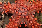 Spiny sea star  (Gomophia egeria)