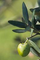 Europe/Provence-Alpes-Côte d'Azur/83/Var/Iles d'Hyères/Ile de Porquerolles:  Marie-Claude Cano récolte les olives des  vergers-conservatoires  du Conservatoire botanique national méditerranéen de Porquerolles, plus de 110 variétés d'oliviers, sur l'île de Porquerolles _ Détail olives