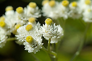 Pearly Everlasting- Anaphalis margaritacea- in a New England forest during the summer months..Pearly Everlasting- Anaphalis margaritacea- is part of the Aster family and is native to New Hampshire