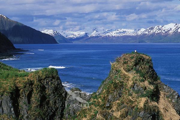 Bald eagle nest on Kodiak Island, Alaska.  (Haliaeetus leucocephalus)