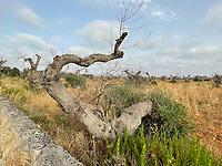 Ultime notizie su Xyella fastidiosa che in Puglia e Salento dissecca l'olivo: cure, rimedi, responsabili, complotti, abbattimento ulivi, fitofarmaci, indagini. Uliveti di Leverano la Xylella ha rovinato miglia e miglia di alberi di ulivo. Leverano, 14 luglio 2021. Photo by Leonardo Cendamo/Getty Images