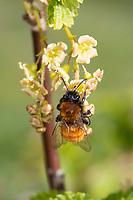 Rotpelzige Sandbiene, Rostrote Sandbiene, Fuchsrote Sandbiene, Weibchen beim Blütenbesuch an Johannisbeere, Andrena fulva, Andrena armata, Tawny mining bee, Tawny mining-bee, Sandbienen, Andrenidae, mining bees