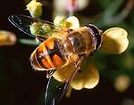 Eristalis tenax hoverfly