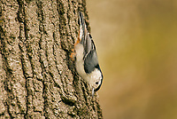 White-breasted Nuthatch (Sitta carolinensis) walking upside down.  Great Lakes Region.  May.