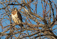 It was nice to get a close glimpse of the handsome Swainson's Hawk at Camas NWR.