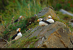 Horned Puffin Fish Story, Duck Island, Puffin Island, Tuxedni Bay, Cook Inlet, Alaska