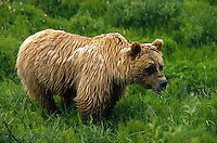 Grizzly Bear soaked by the rain in green tundra, Denali National Park, Alaska