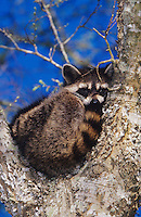 Northern Raccoon, Procyon lotor, adult in tree fork, Welder Wildlife Refuge, Sinton, Texas, USA, March 2005