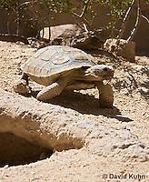 0609-1035  Desert Tortoise Near Entrance to its Burrow (Mojave Desert), Gopherus agassizii  © David Kuhn/Dwight Kuhn Photography