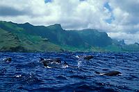 melon-headed whales, Peponocephala electra Nuku Hiva, Marquesas, French Polynesia (South Pacific Ocean) Malaysia (Celebes Sea)