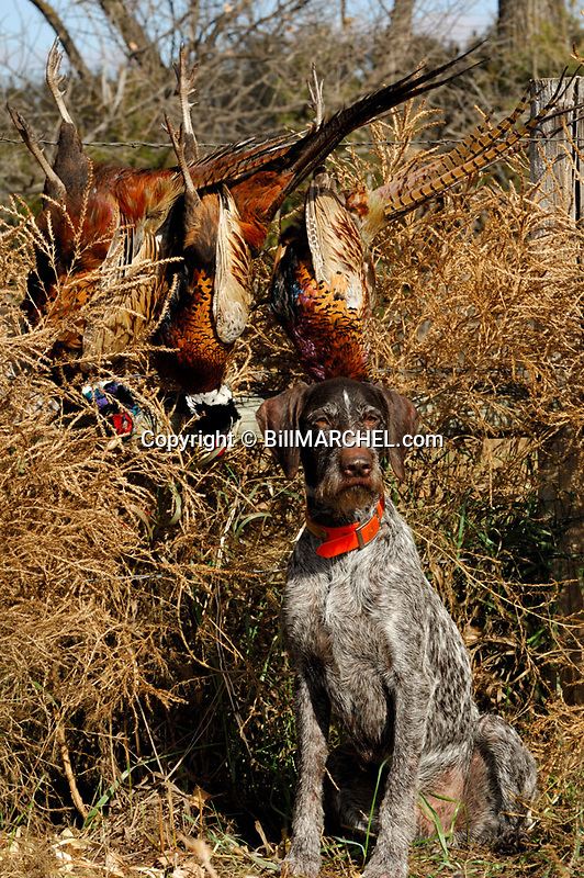 00279-020.05 Deutsch Drahthaar poses with three rooster pheasants.  Wirehair, hunt, retrieve, point, tubbleweed, fence.  V5F1