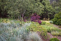 Live Oak tree (Quercus californica) in California meadow garden with Blue Oat grass (Helictotrichon sempervirens), wild rye (Leymus condensatus) David Fross