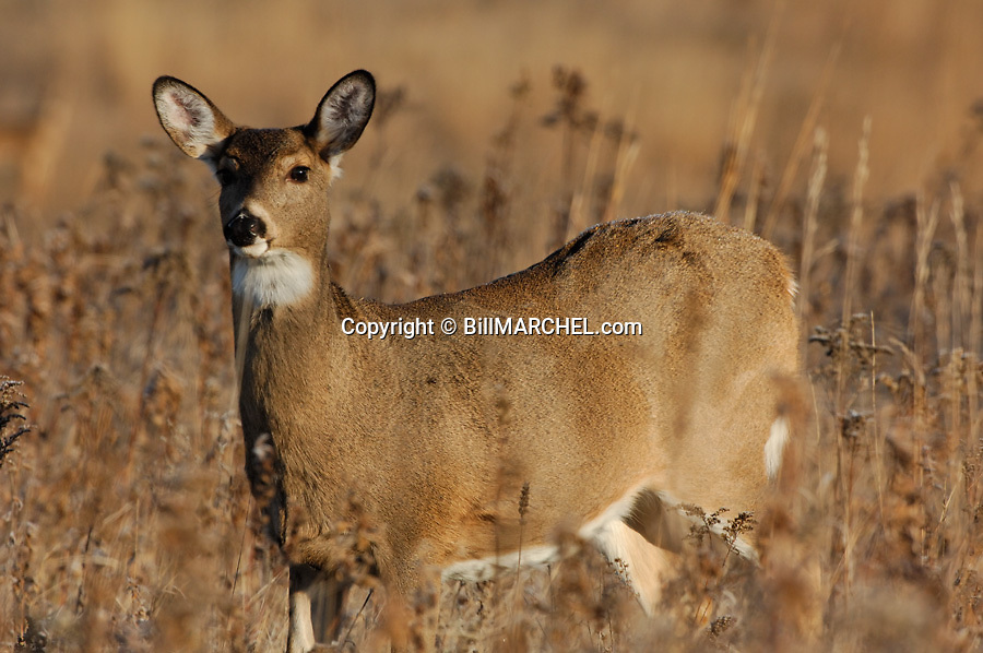 00275-196.02 White-tailed Deer (DIGITAL) doe pauses while feeding on goldenrod in meadow during fall.  Hunt.  H6L1
