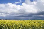 Europa, DEU, Deutschland, Nordrhein Westfalen, NRW, Rheinland, Niederrhein, Juechen, Agrarlandschaft, Bluehende Rapsfelder, Raps, Fruehling, Wolken, Wolkenstimmung, Wetterfront, Gewitterwolken, Regenwolken, Kategorien und Themen, Landwirtschaft, Landwirtschaftlich, Agrar, Agrarwirtschaft, Natur, Naturfoto, Naturfotos, Naturfotografie, Naturphoto, Naturphotographie, Landschaft, Landschaften, Landschaftsfoto, Landschaftsfotografie, Landschaftsphoto, Landschaftsphotographie......[Fuer die Nutzung gelten die jeweils gueltigen Allgemeinen Liefer-und Geschaeftsbedingungen. Nutzung nur gegen Verwendungsmeldung und Nachweis. Download der AGB unter http://www.image-box.com oder werden auf Anfrage zugesendet. Freigabe ist vorher erforderlich. Jede Nutzung des Fotos ist honorarpflichtig gemaess derzeit gueltiger MFM Liste - Kontakt, Uwe Schmid-Fotografie, Duisburg, Tel. (+49).2065.677997, schmid.uwe@onlinehome.de, www.image-box.com]