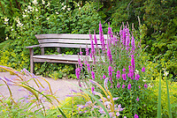 Tall Spike flower forms in pink: Lythrum salicaria loosestrife, Veronicastrum and  garden bench scene view, with Alchemilla mollis in yellow blooms