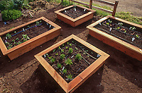 Seedling vegetables in wooden box raised bed small space intensive garden