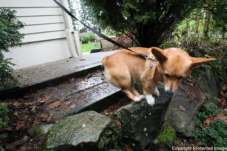 A corgi is at the end of his rope at a home in Redmond, Wash. on December 9, 2008.  Neighbor Jennifer McKee tried to talk to the owner about the dogs who bark constantly but the owner told her to move.  Jennifer says the dogs are out there everyday from around 7am until 9pm when she believes her neighbor chains them in her garage. Tethered dogs run the risk of accidentally hanging themselves.  (Karen Ducey/Seattle Post-Intelligencer)