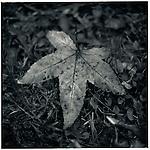 JULY 1995    -  Melbourne, Australia   - A Maple leaf at the Maroondah Dam..