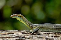 Mertens monitor, Varanus mertensi, Darwin, Northern Territory, Australia, monitor lizard