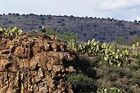 Bald Eagle (Haliaeetus leucocephalus) sitting on rocky hillside in central Arizona.