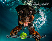 REALISTIC ANIMALS, REALISTISCHE TIERE, ANIMALES REALISTICOS, dogs, paintings+++++SethC_Mylo_320B0713work3,USLGSC50,#A#, EVERYDAY ,underwater dogs,photos,fotos ,Seth