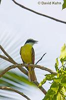 0701-1108  Social Flycatcher (Vermilion-crowned Flycatcher), Belize River in Belize, Myiozetetes similis  © David Kuhn/Dwight Kuhn Photography
