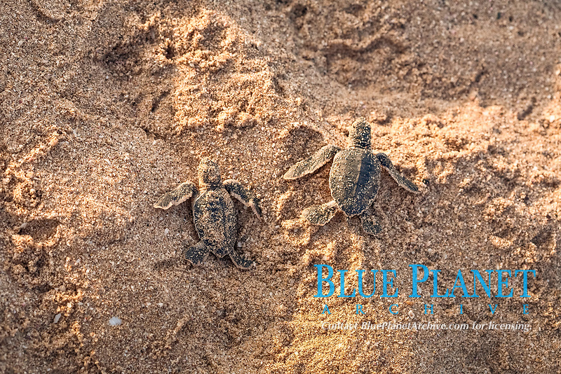 Young Green Turtles (Chelonia mydas) on the beach, Oman, Asia