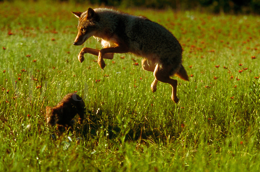 Adult coyote leaps in the air in spring.