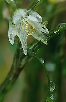 False Garlic, Nothoscordum bivalve, blossom after Ice Rain, San Antonio, USA