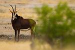Sable Antelope (Hippotragus niger) female, Kruger National Park, South Africa