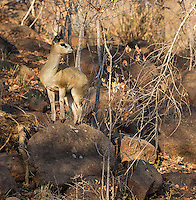 Klipspringers are small antelopes found in rocky areas.  Their specialized hooves are adapted very well for climbing.