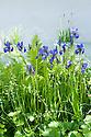 "Border containing irises, Tellima grandiflora, and ferns. ""Witan Wisdom"" Garden, RHS Chelsea Flower Show 2009."