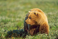 Grizzly bear in summer tundra, Denali National Park, Alaska