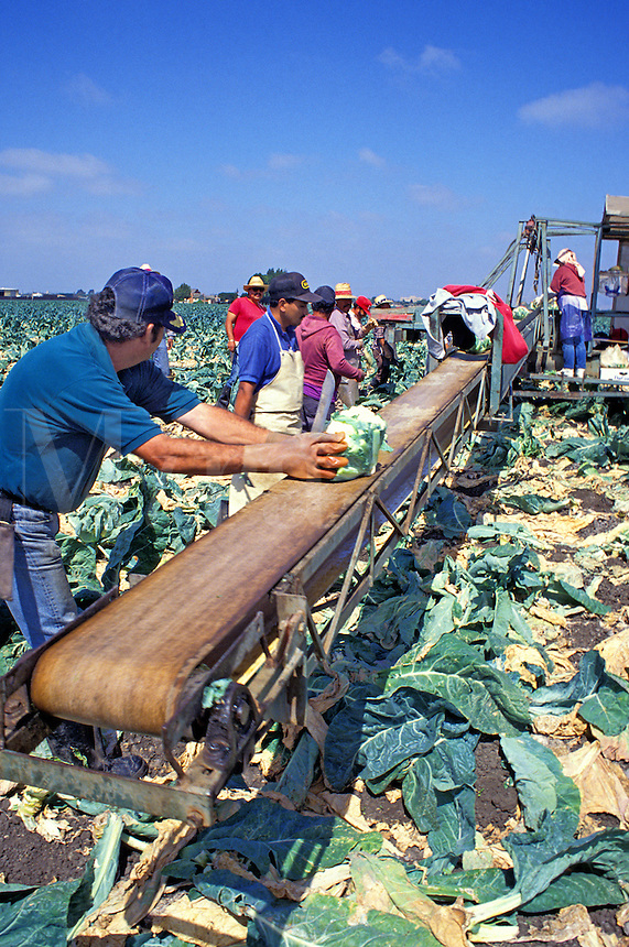Migrant workers harvesting cauliflower, Salinas, California